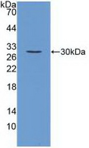 Polyclonal Antibody to Fibroblast Growth Factor 23 (FGF23)