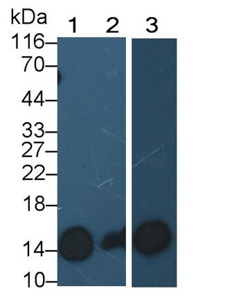Polyclonal Antibody to Trefoil Factor 2 (TFF2)