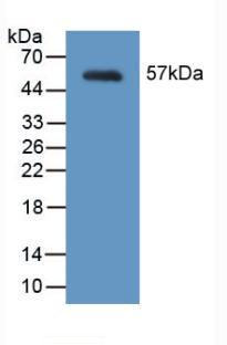 Polyclonal Antibody to Myosin Heavy Chain 2, Skeletal Muscle, Adult (MYH2)