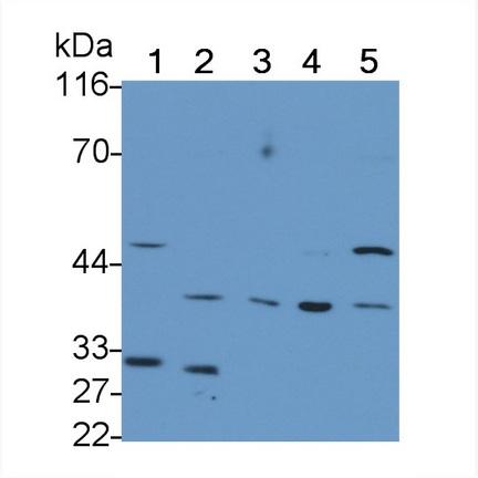 Polyclonal Antibody to Kidney Injury Molecule 1 (Kim1)