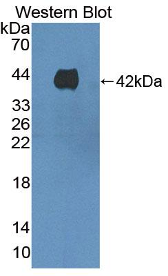 Polyclonal Antibody to Kidney Injury Molecule 1 (Kim1)