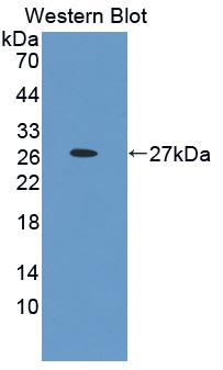 Polyclonal Antibody to Programmed Cell Death Protein 1 Ligand 2 (PDL2)