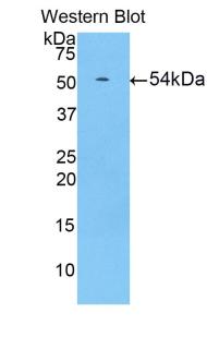 Polyclonal Antibody to Hypoxia Inducible Factor 1 Alpha (HIF1a)