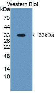 Polyclonal Antibody to Pregnancy Associated Plasma Protein A (PAPPA)