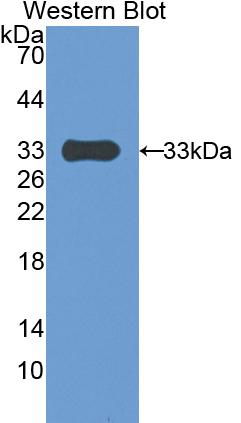 Polyclonal Antibody to Pregnancy Associated Plasma Protein A (PAPPA)