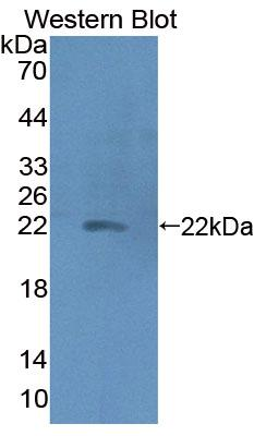 Polyclonal Antibody to Haptoglobin (Hpt)