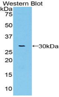 Polyclonal Antibody to Von Willebrand Factor A Domain Containing Protein 1 (vWA1)