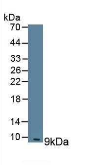 Polyclonal Antibody to Clara Cell Protein 16 (CC16)