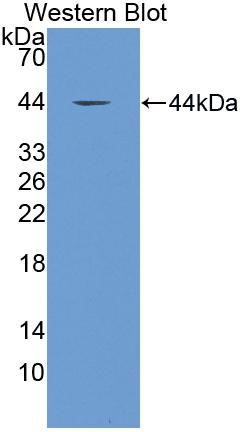 FITC-Linked Polyclonal Antibody to Complement Component 3 (C3)