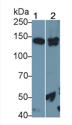 Polyclonal Antibody to Endothelial NOS (eNOS)