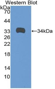 Polyclonal Antibody to Angiopoietin-3 (ANG-3)