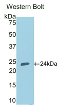 Polyclonal Antibody to Peroxisome Proliferator Activated Receptor Gamma (PPARg)