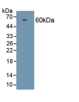 Polyclonal Antibody to Osteopontin (OPN)