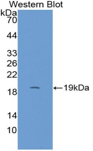 Biotin-Linked Polyclonal Antibody to Cyclophilin A (CYPA)