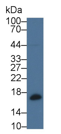 Polyclonal Antibody to Beta-Lactoglobulin (bLg)