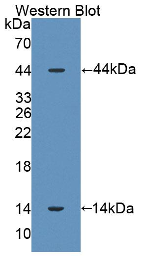 Polyclonal Antibody to Surfactant Associated Protein D (SPD)