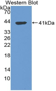 Biotin-Linked Polyclonal Antibody to Tryptase (TPS)