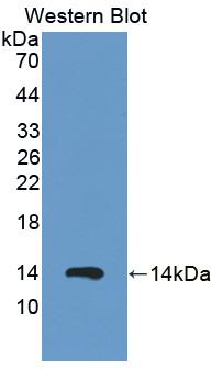 Polyclonal Antibody to S100 Calcium Binding Protein A12 (S100A12)