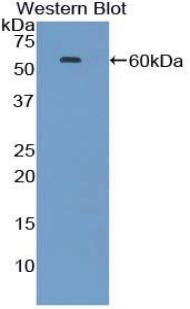 Polyclonal Antibody to Heat Shock 70kDa Protein 1A (HSPA1A)