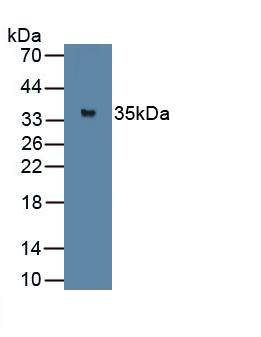 Polyclonal Antibody to Myogenin (MYOG)