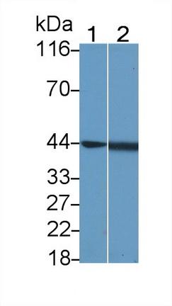 Polyclonal Antibody to c-Jun N-terminal Kinase 1 (JNK1)