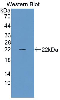 Polyclonal Antibody to Relaxin (RLN)