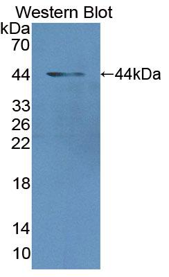 Polyclonal Antibody to MAX Gene Associated Protein (MgA)