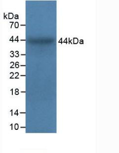 Polyclonal Antibody to Integrin Alpha 5 (ITGa5)