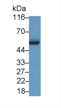 Polyclonal Antibody to V-Myc Myelocytomatosis Viral Oncogene Homolog (MYC)