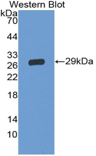 Polyclonal Antibody to Cluster of Differentiation 42d (CD42d)