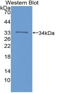 Polyclonal Antibody to Integrin Alpha 1 (ITGa1)