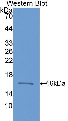 Polyclonal Antibody to Cluster of Differentiation 59 (CD59)
