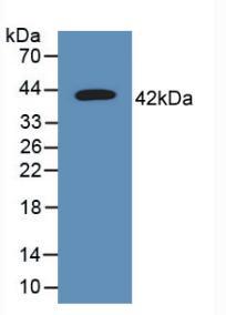 Polyclonal Antibody to Tetraspanin 30Cluster of Differentiation 63 (CD63)