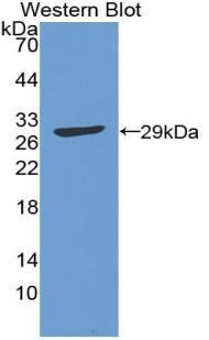 Polyclonal Antibody to Activating Transcription Factor 1 (ATF1)
