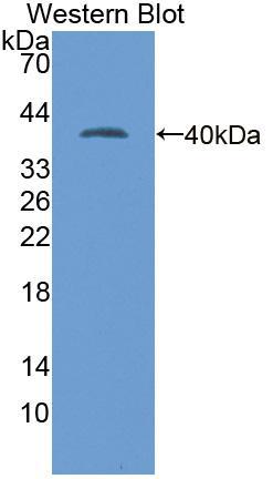 Polyclonal Antibody to Lactate Dehydrogenase A (LDHA)