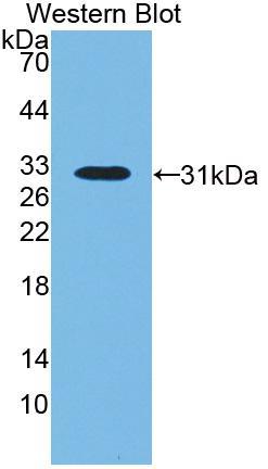 Biotin-Linked Polyclonal Antibody to Lipopolysaccharide Binding Protein (LBP)