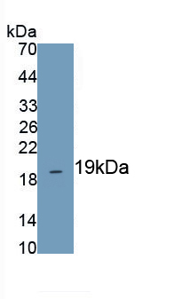 Polyclonal Antibody to Heat Shock 10kDa Protein 1 (HSP10)