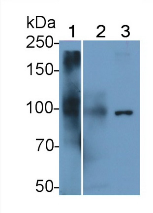 Polyclonal Antibody to Prominin 1 (PROM1)
