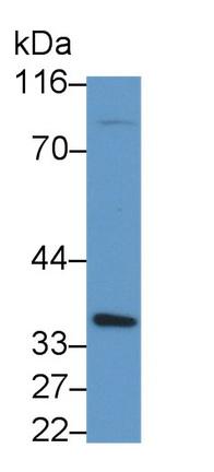 Polyclonal Antibody to Caspase 1 (CASP1)