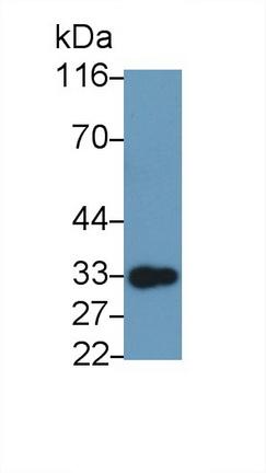 Polyclonal Antibody to Glucocorticoid Induced Tumor Necrosis Factor Receptor (GITR)
