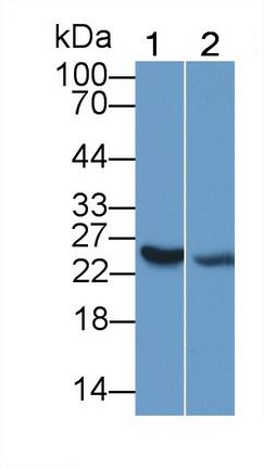 Polyclonal Antibody to Interleukin 25 (IL25)