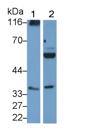 Polyclonal Antibody to Myeloid Differentiation Factor 88 (MyD88)