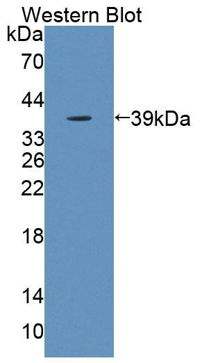 Polyclonal Antibody to Kell Protein (KEL)