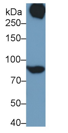 Polyclonal Antibody to Signal Transducer And Activator Of Transcription 3 (STAT3)