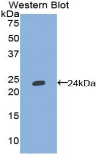 Polyclonal Antibody to Tumor Necrosis Factor Ligand Superfamily, Member 13 (TNFSF13)