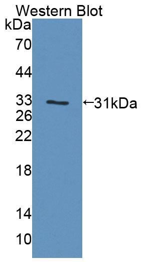 Polyclonal Antibody to Prostaglandin F2 Receptor Negative Regulator (PTGFRN)