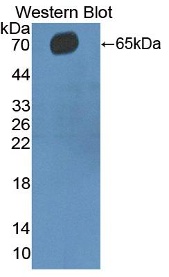Polyclonal Antibody to Cluster Of Differentiation 5 (CD5)