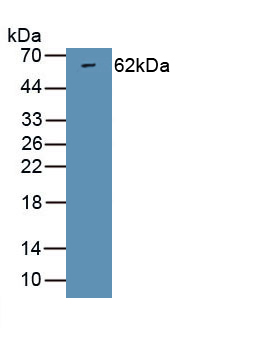 Polyclonal Antibody to Neuregulin 1 (NRG1)