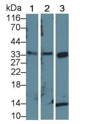 Polyclonal Antibody to Cyclin Dependent Kinase 2 (CDK2)