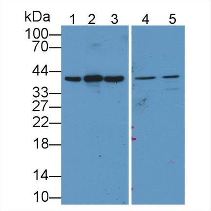 Polyclonal Antibody to Glyceraldehyde-3-Phosphate Dehydrogenase (GAPDH)